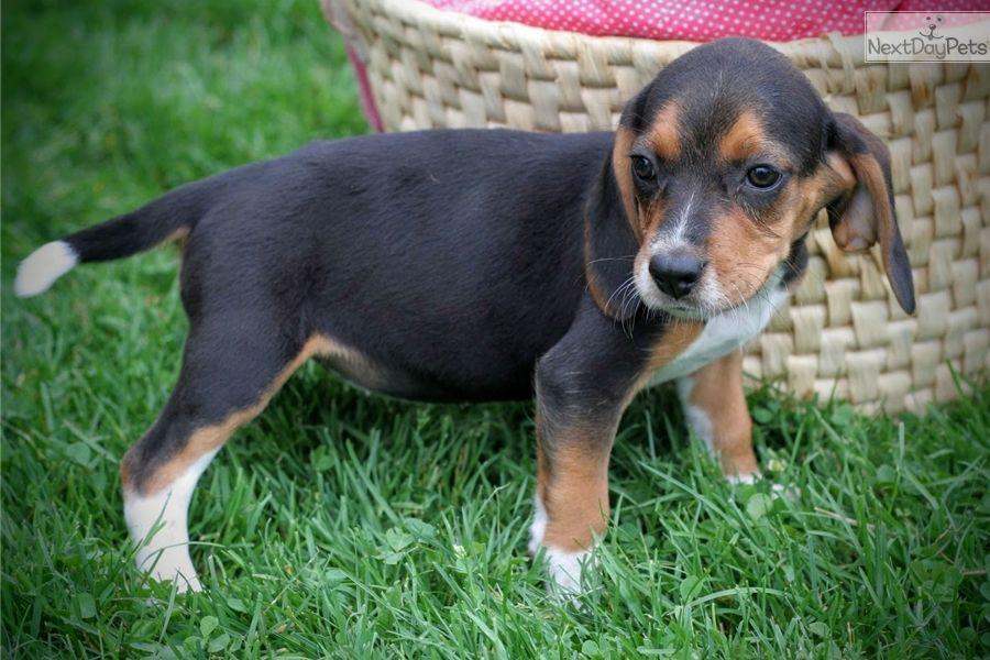 Beagle Puppy For Sale Near Akron Canton Ohio 393a11e5 F361