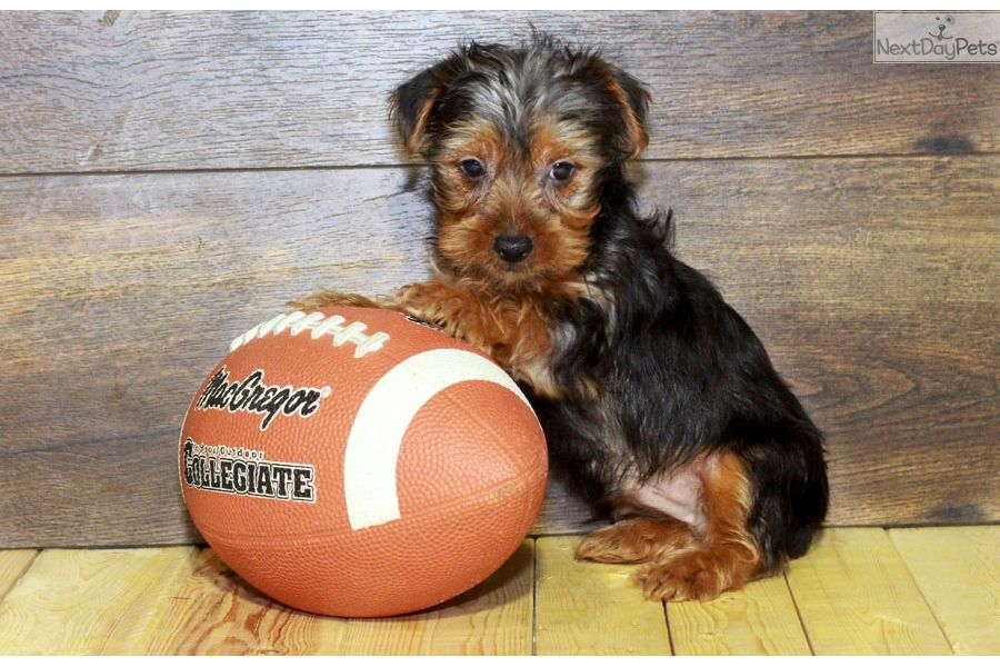 Yorkiepoo Yorkie Poo Puppy For Sale Near Columbus Ohio 7c1ed1c7