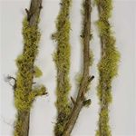 Younger and Son Wholesale  Mossy Limbs Natural
