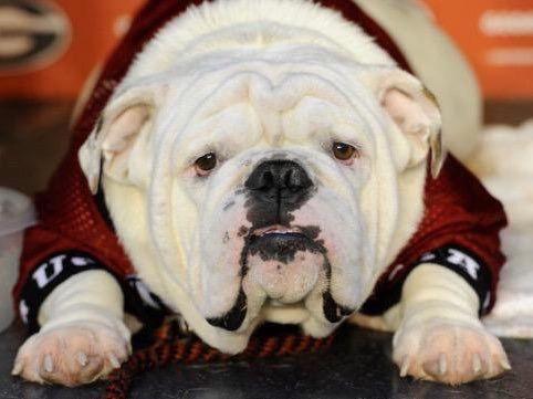 Uga X Que Bulldog Georgia Dawgs Georgia Bulldogs