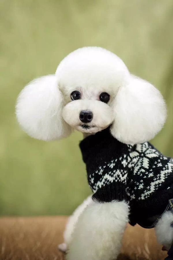 Pin By Carol P Cooper On Dogs Pinterest Poodle Dog And