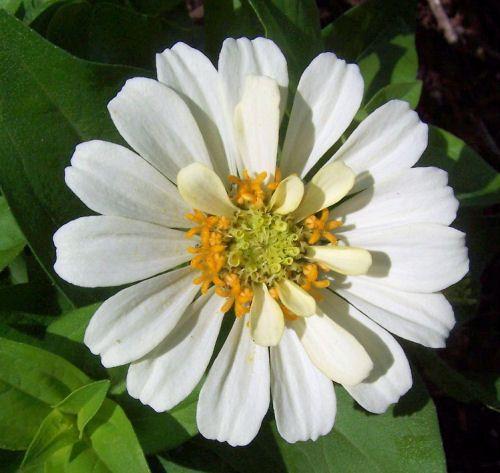 The White Garden - Raleigh Botanical Gardens -, white zinnia   http://thegardeningcook.com/the-white-garden-raleigh-botanical-gardens/
