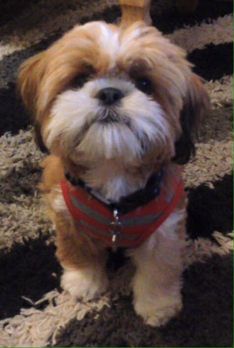Teddy Should Cut Louie S Hair Like This Hiro Shih Tzu