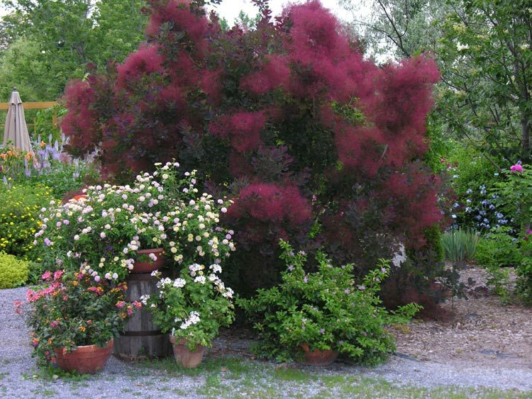 Purple Smoke Tree Cotinus Coggygria Royal There Several Shades Of Trees But This One If My Favorite I Love The Deep Burgundy