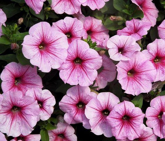 Las mejores flores para cultivar a pleno sol u2013 2ª parte Mejores