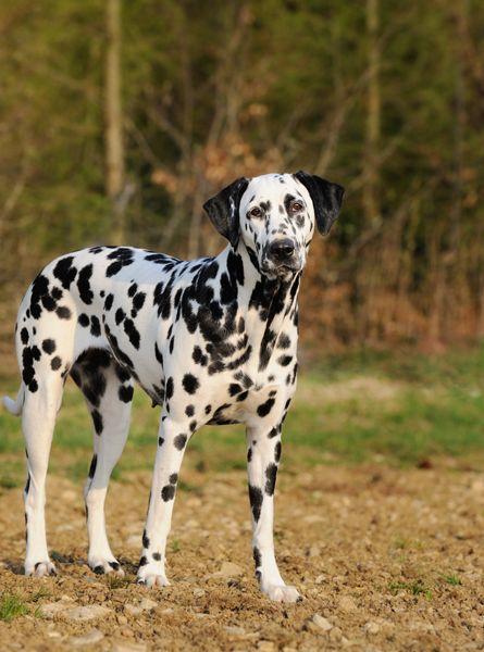 Lil Dog Whisperer I Spot A Dalmatian Dalmatian Puppy Dalmatian Dalmatian Dogs