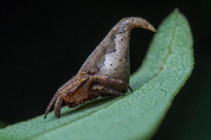 Die Kaum Zwei Millimeter Lange Spinne Eriovixia Gryffindori Wurde In Indien Spinnenarten Tausendfussler Tiere