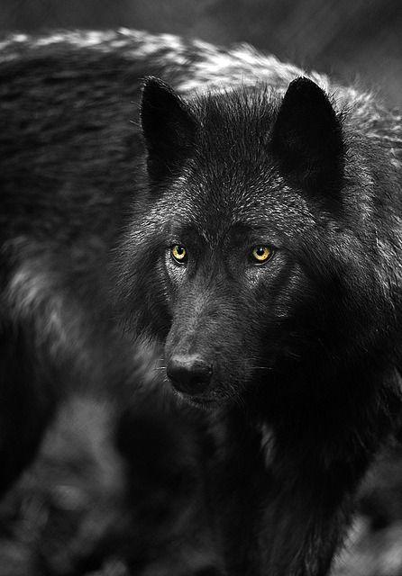 Oberon7up Loup Noir Meute De Loup Chien Loup