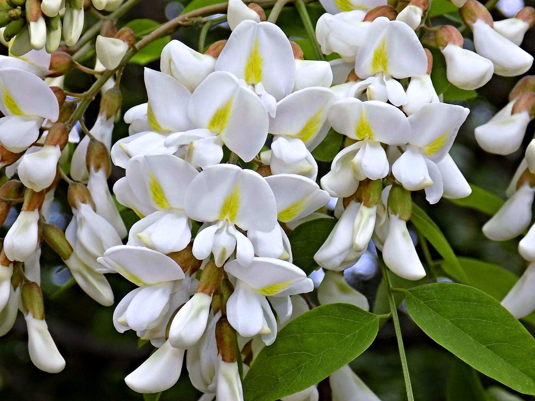 Acacia Blossom Akaciev Cvyat Dscn1797 Planting Flowers Plants Flowering Trees