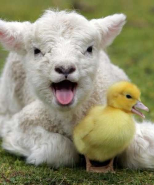 A Lamb And Duckling Mid Song