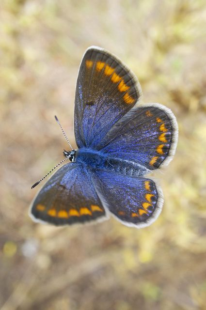 Common Blue butterfly - Menorca