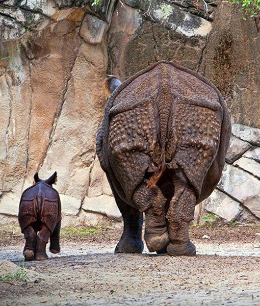 Fort Worth Zoo's baby greater one-horned rhino walks away with its mother in their enclosure. Too cute!