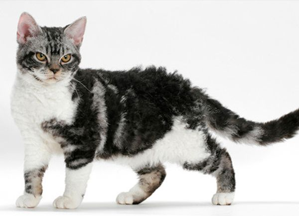 black and white american wirehair cat | black | Pinterest | American ...