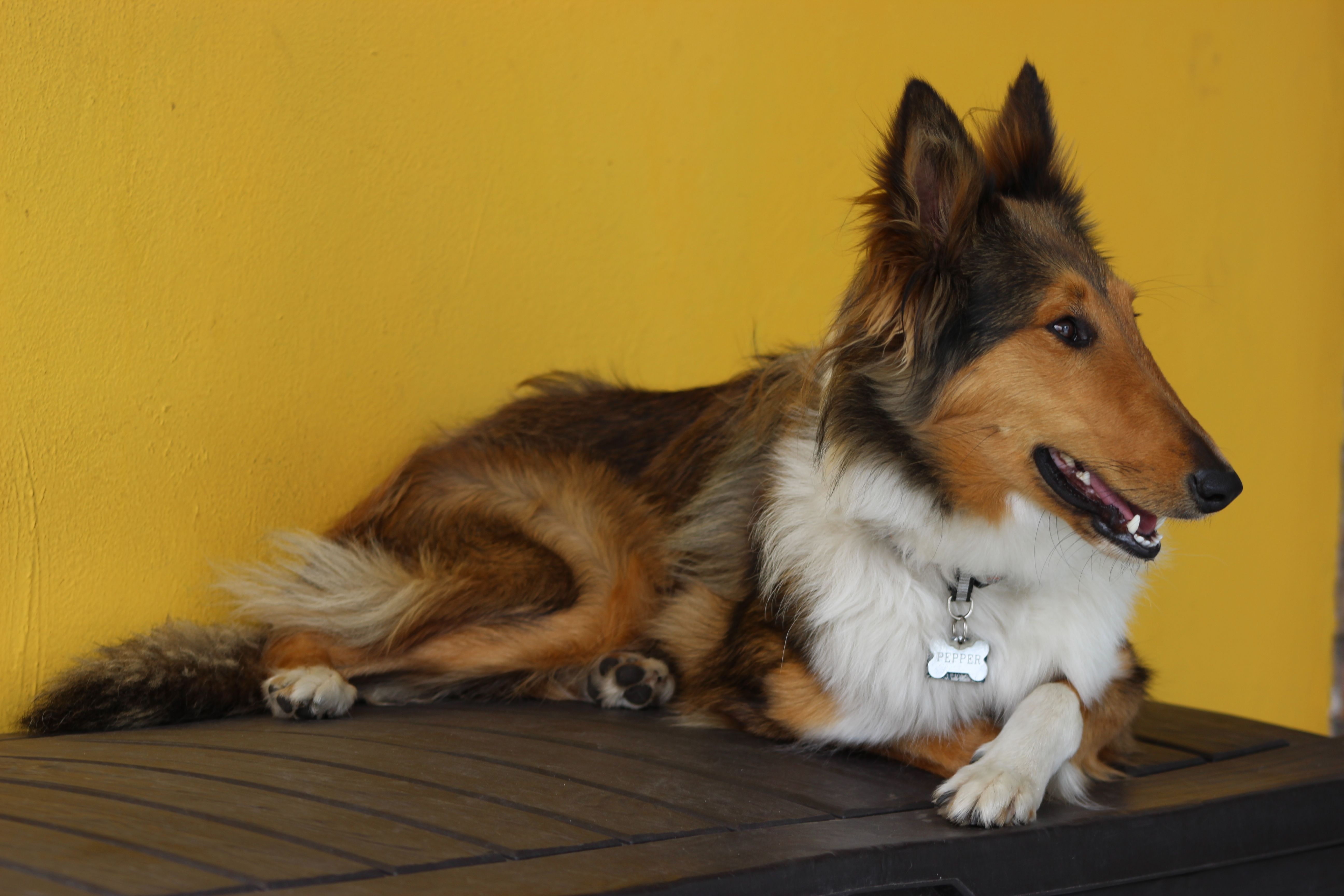 My lovely #Pepper never looses the style, with her legs crossed #Collie