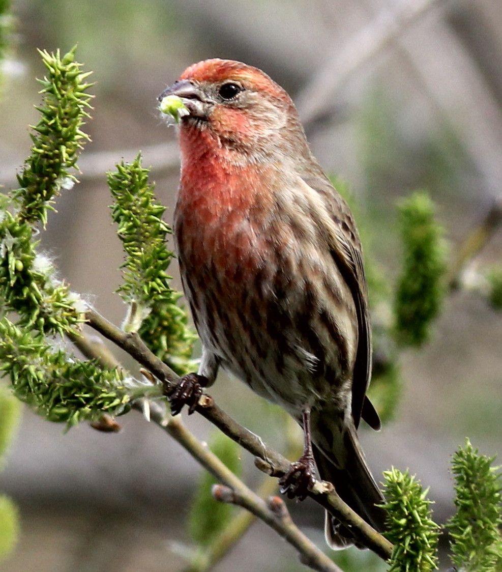 House Finch   Finches bird, Backyard birds feeders, Birds