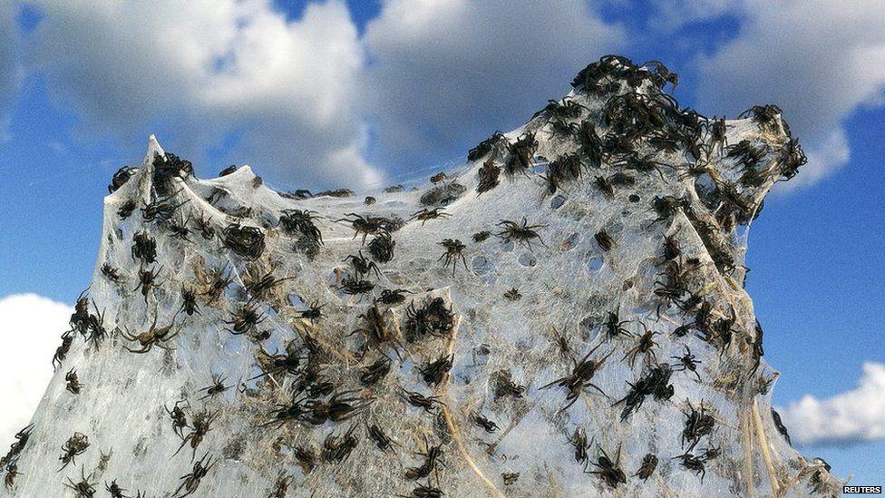 Australian floods create enormous spider webs.