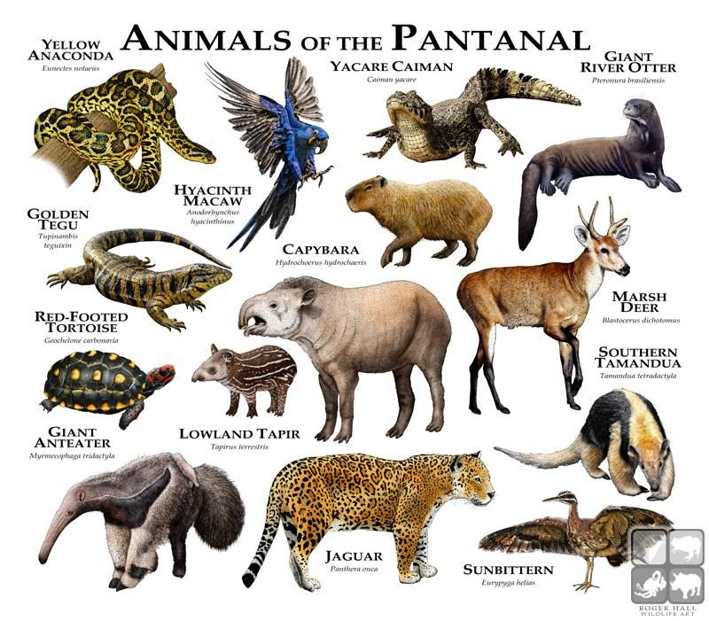 Animals Of The Pantanal Roger D Hall A Scientific