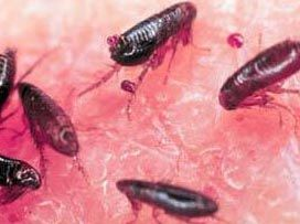 How to Rid Your House of Pesky Fleas | Cleaning | Fleas