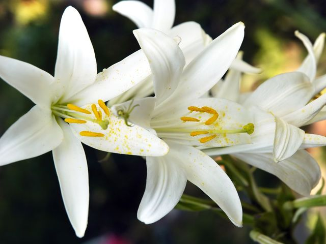 What Is Your Signature Flower White Lily Flower Same Day Flower Delivery Lily Wallpaper