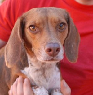 Coco Is A 10mos Beagle Puppy In Need Of A Loving Adopter At The