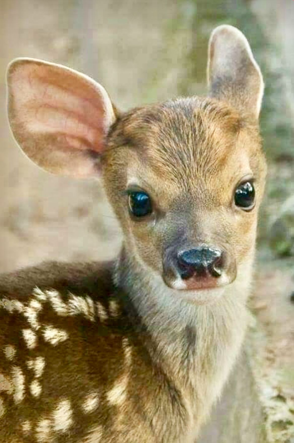 Small Big Eyed Fawn It S So Small I Suspect It S A Roe Deer Fawn