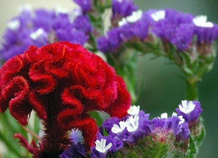 Red Celosia Flowers Blossom Flower Red Wedding