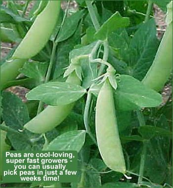 growing peas from seed is quite simple and easy for new england gardeners - Vegetable Garden Ideas New England