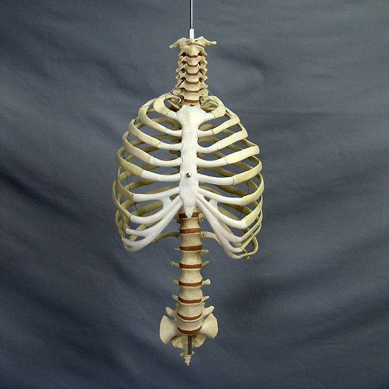 """""""Harvey"""" Skeleton Rib Cage & Spine, Life Size, 2nd Class"""
