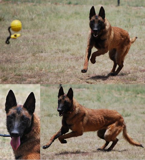 Here At Ruidoso Malinois Our Malinois K 9 Dogs Are Specially Trained For Professional Use In The Police Department Malinois Dog Malinois Belgian Malinois Dog