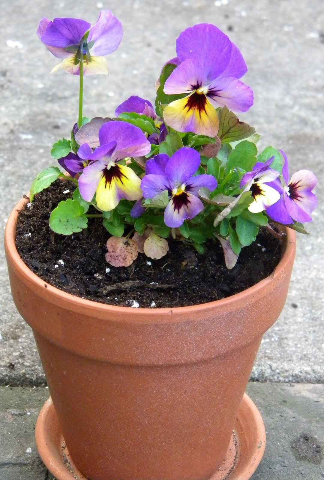 Pansy Flower Pot Wedding Centerpieces Ideas Google Search Pansies Flowers Pansies Flower Planters