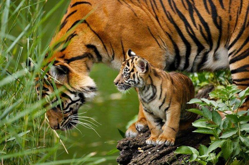 who wrote tiger tiger burning bright