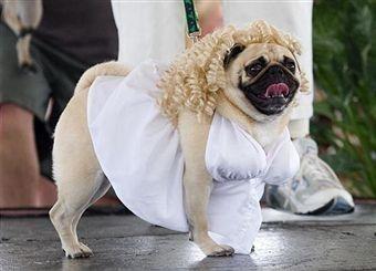 Misty May A Pug Dressed Up As Marilyn Monroe Walks The Runway