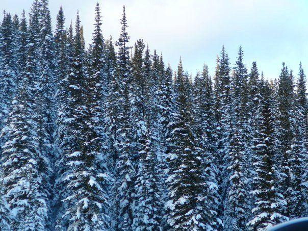 Snowy Trees  ~ Jasper Park, Alberta, Canada
