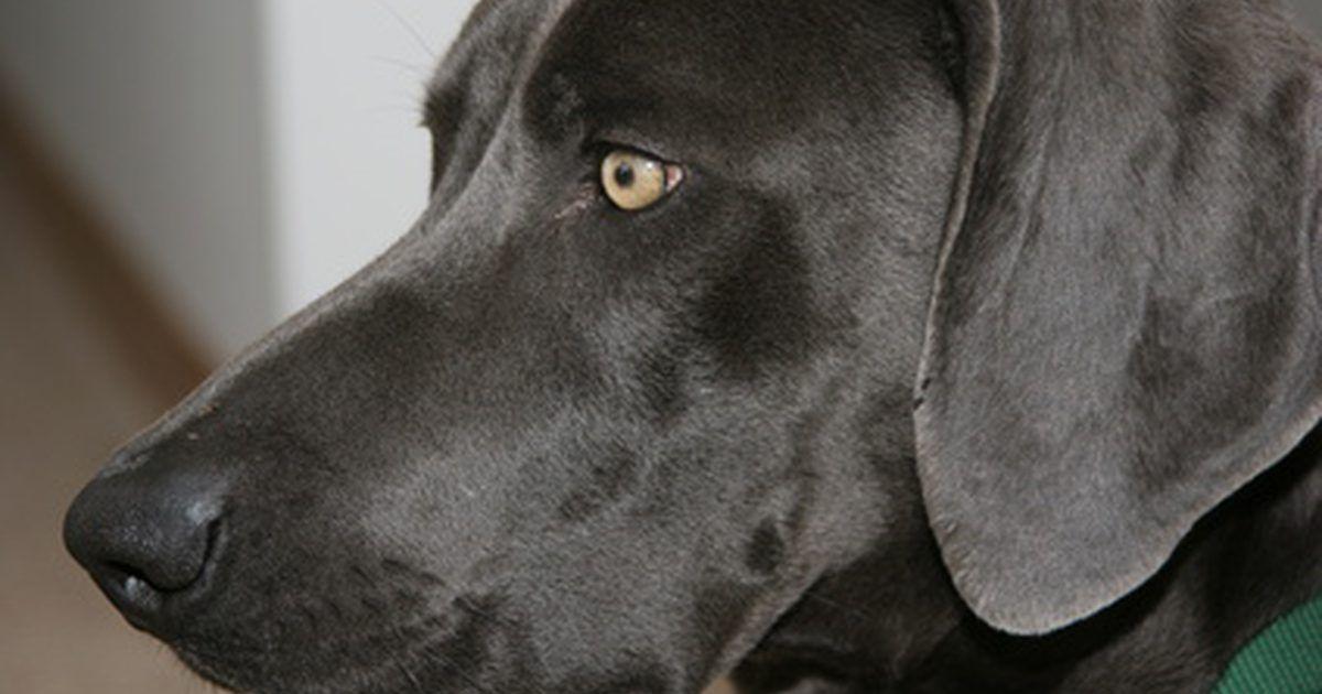 ¿Qué causa una infección por pseudomonas en los perros?. La pseudomonas es una bacteria que causa infecciones en todos los animales. Es particularmente virulenta y resistente a todos los antibióticos. Se encuentra en una amplia variedad de entornos, incluyendo los alimentos, el suelo, el agua y la fauna. A pesar de que no siempre causa infección, las pseudomonas pueden causar una afección en la piel de ...