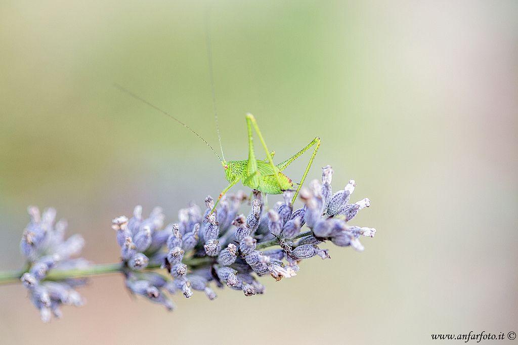 Grillo di cespuglio (Leptophyes punctatissima) #leptophyespunctatissima #grillo #cricket #Canon #DSLR #EOS