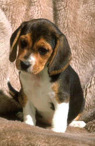 Miniature Beagles For Adoption With Images Beagle Puppy Cute