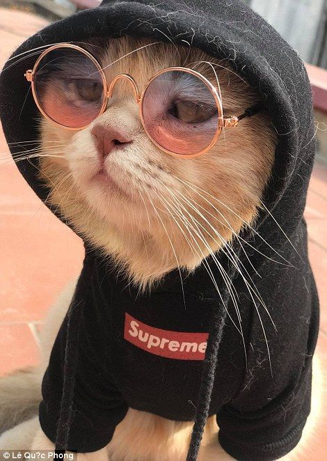 Pet Cat dressed in supreme and he's feline good.