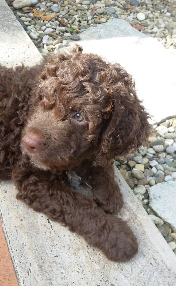 Giotto Lagotto Romagnolo 2 Mesi Lagotto Romagnolo Dog Grooming Dog Love