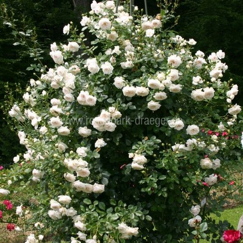 vanilla kletterrose 200 250 10 5 rosen pinterest. Black Bedroom Furniture Sets. Home Design Ideas