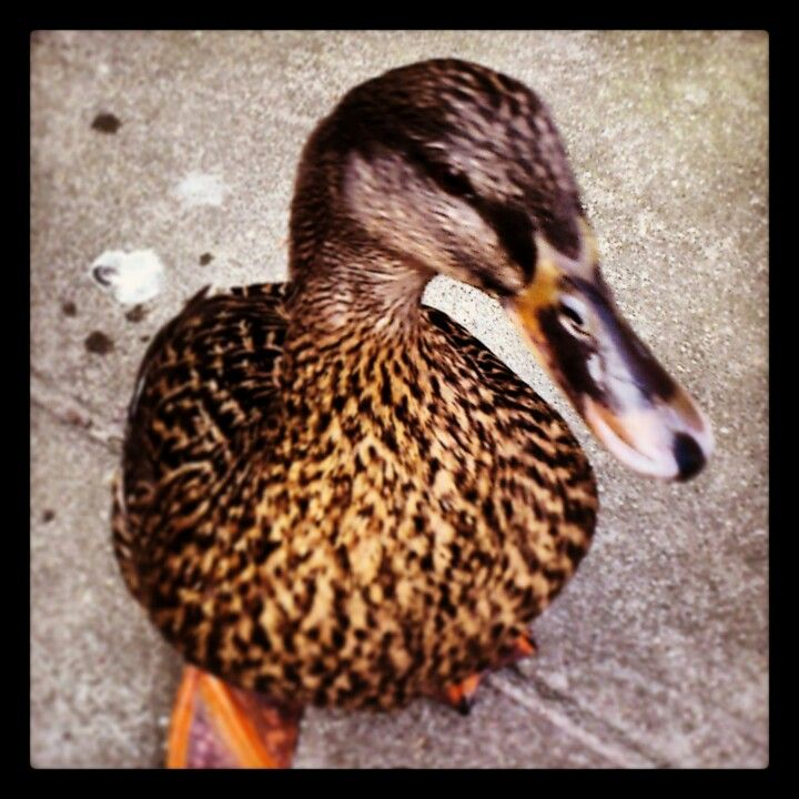 This duck comes to my house for a piece of bread every day! So cute!