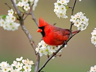"Cardinals prefer pole mounted bird feeders  about 5 - 6 feet above ground. They will visit your feeder starting early in the morning and they'll keep returning to it well into the evening. Unlike many birds, both the males and the females are very vocal and will sing all year long. Song: ""purty, purty, purty"" or ""cheeer, ch-cheeer talk talk talk."""