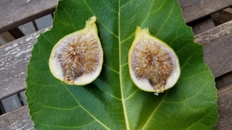 4 Noire De Caromb fig cuttings GREAT Tasting fig.