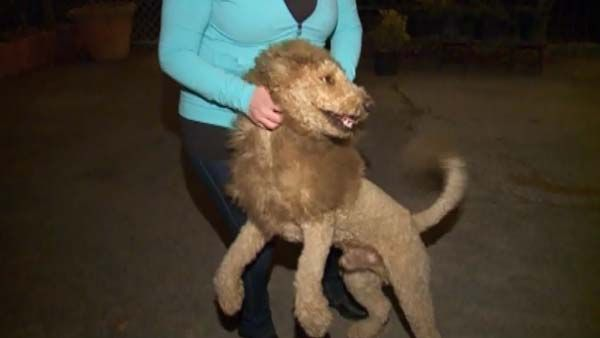 Labradoodle Mistaken For Baby Lion Wfsb 3 Connecticut