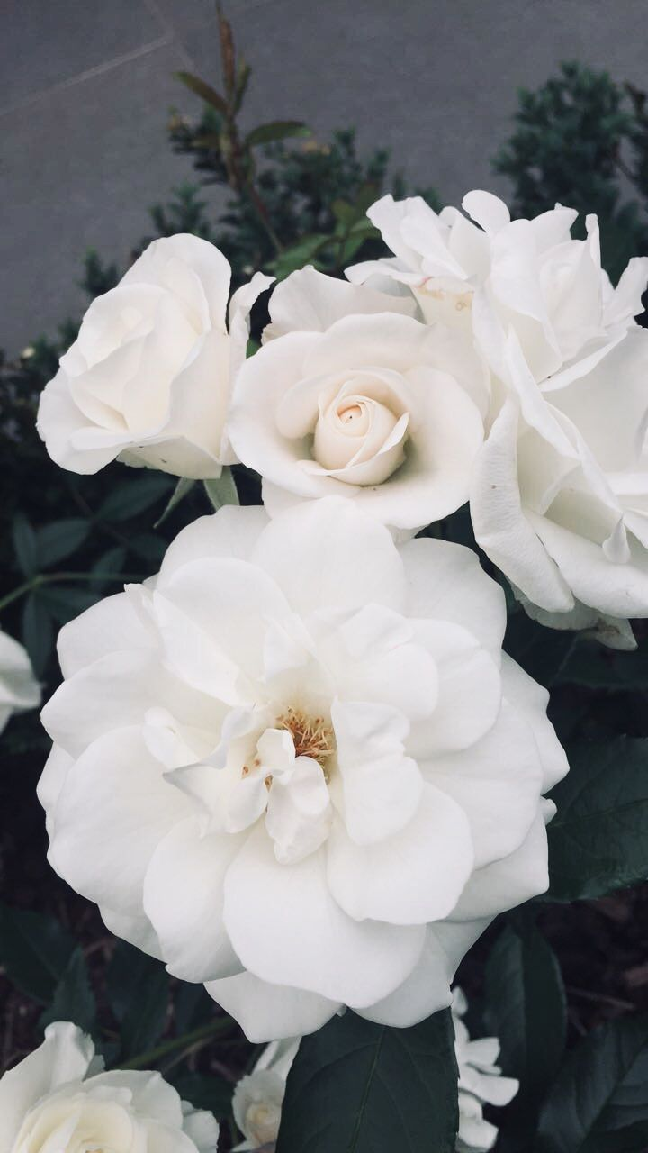From rose wallpaper aesthetic to beautiful white roses wallpaper photography. Pin by d on aes. - p r i s m | Flower aesthetic, Flower ...