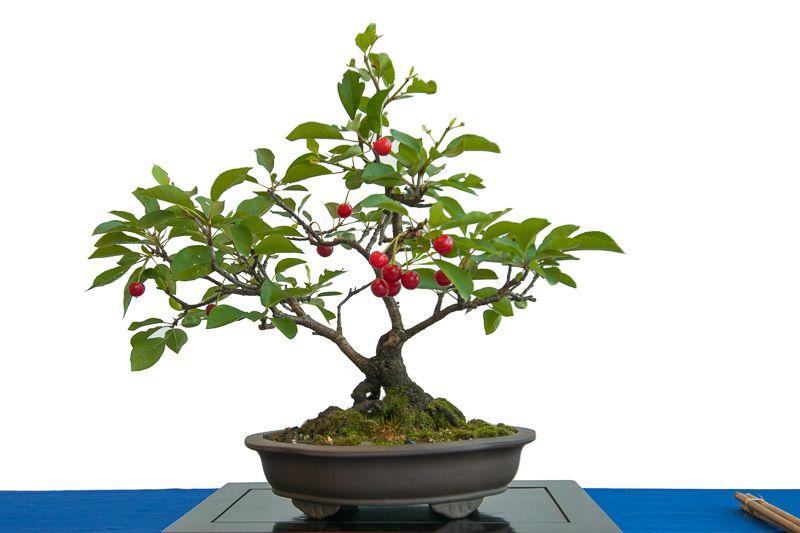 Sauerkirsche Prunus Cerasus Als Bonsai Baum Trees Baume Arbol