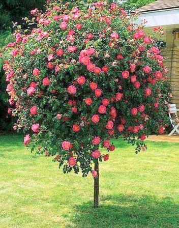 Arbusto de camelias rboles pinterest arbustos for Arbustos decorativos jardin