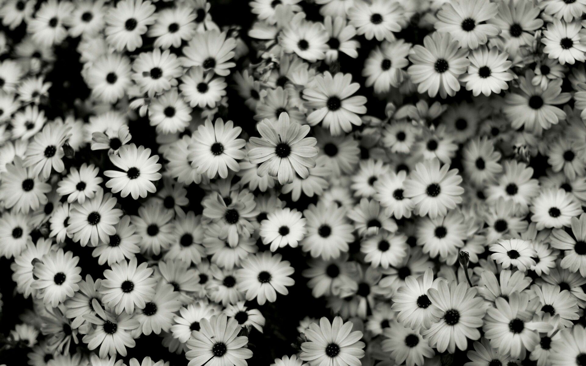 Pretty Black And White Flowers White Flower Wallpaper Black And White Background