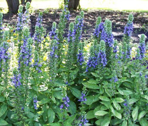 Lobelia Siphilitica Blue Selection Garden Backyard Vegetable
