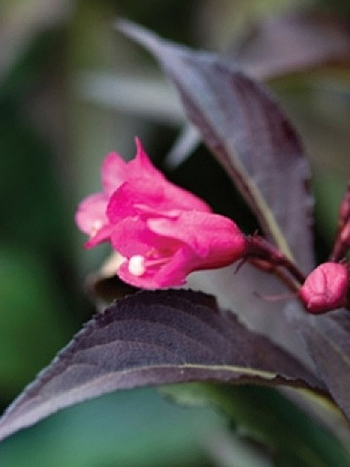 Spilled wine weigela 1m high wide wavy dark purple leaves with spilled wine weigela high wide wavy dark purple leaves with hot pink flowers that attract hummingbirds this is a new dwarf variety that best used in mightylinksfo Gallery