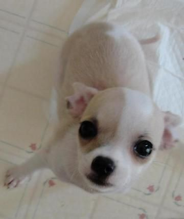 Check out Tiny Dancer's profile on AllPaws.com and help her get adopted! Tiny Dancer is an adorable Dog that needs a new home. https://www.allpaws.com/adopt-a-dog/chihuahua/1238602?social_ref=pinterest